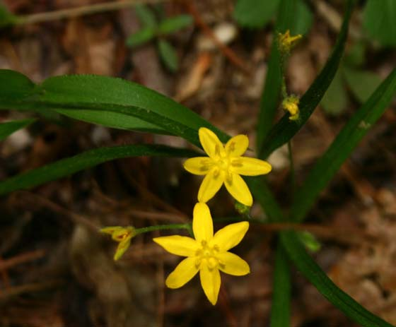 yellow_stargrass.jpg