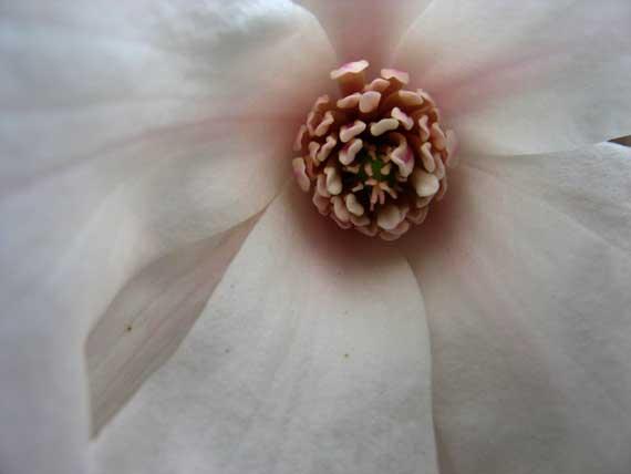 magnolia_blossom.jpg