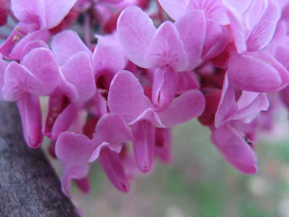 redbud_in_bloom.jpg