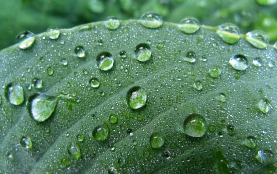 droplets_hosta.jpg