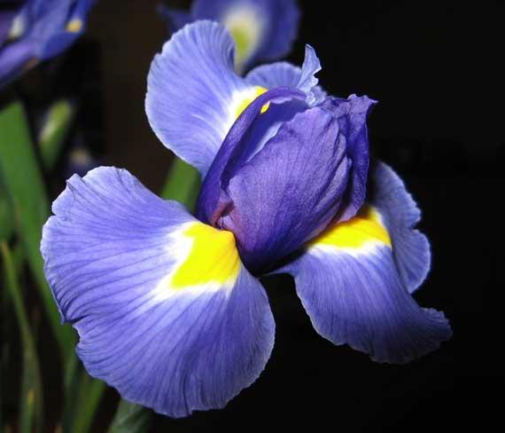 iris_bouquet.jpg