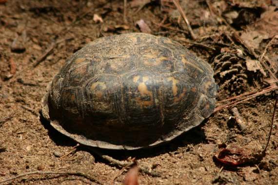 box_turtle.jpg