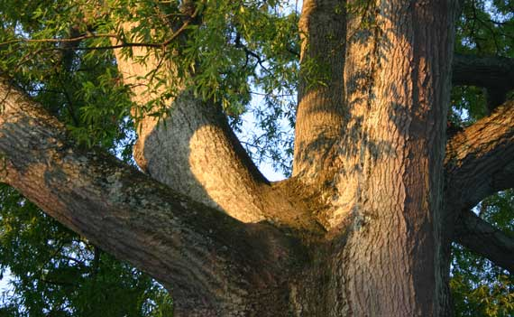 tree_trunk_branching.jpg