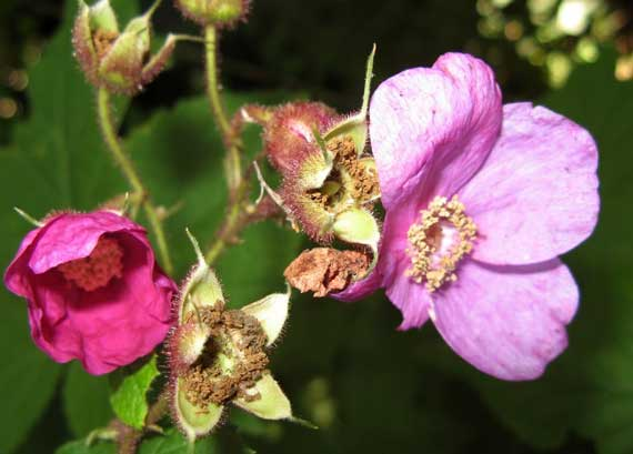 berry_unk_blossom.jpg