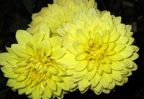 dahlia_yellow.jpg