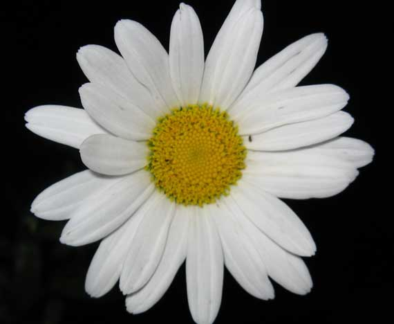 daisy_in_night.jpg