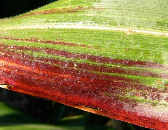 maize_leaf.jpg