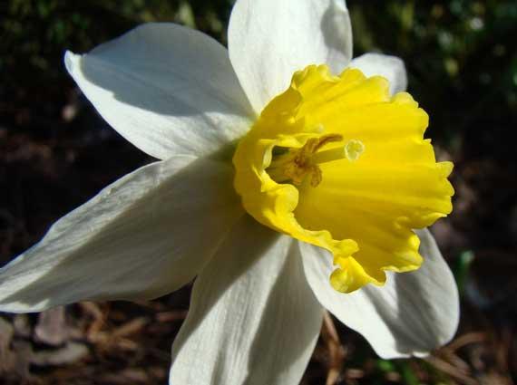 flowering_not_daffodil.jpg