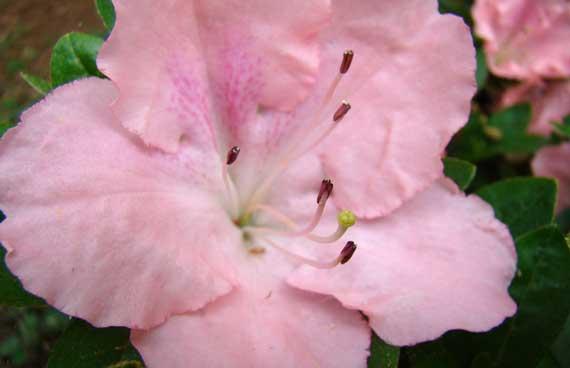 azalea_pink.jpg