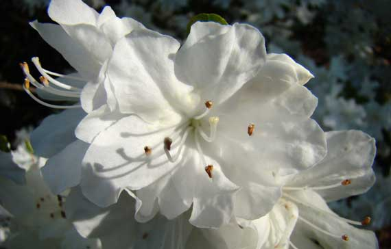 azalea_white_backyard.jpg