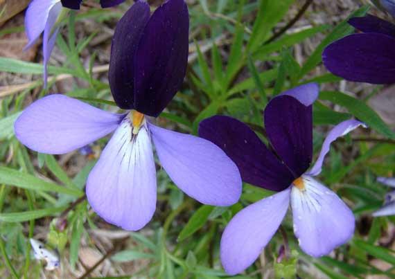 viola_violet_bicolor.jpg