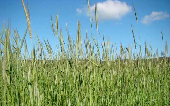 wheat_spring.jpg