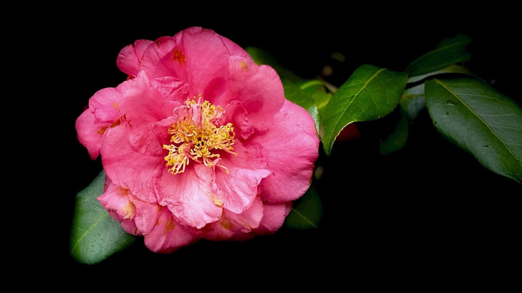 Camellia dk pink