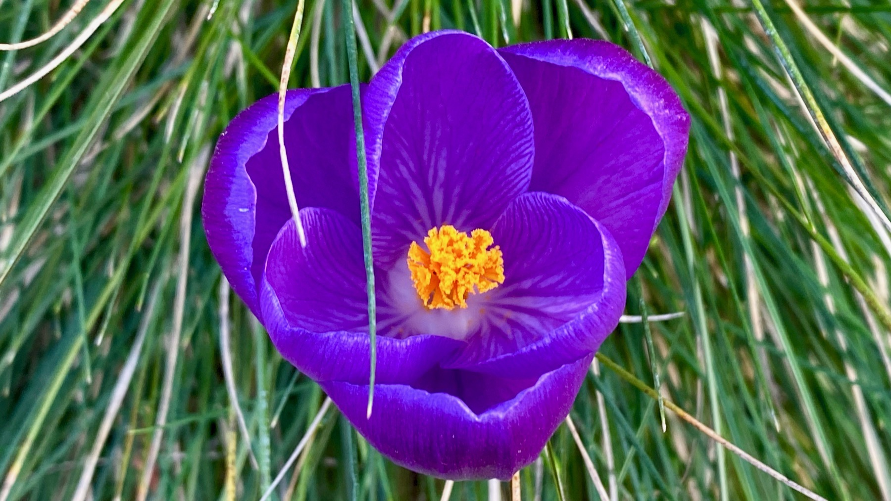Crocus wonderful