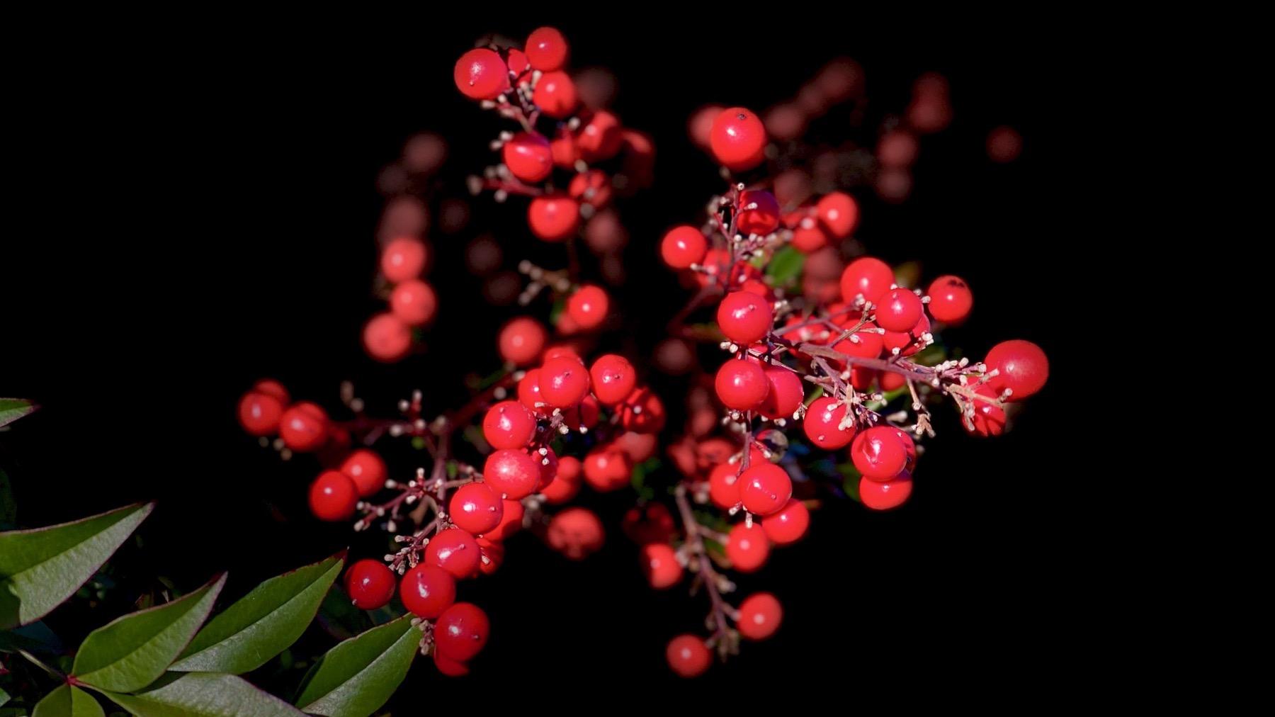 Nandina berries