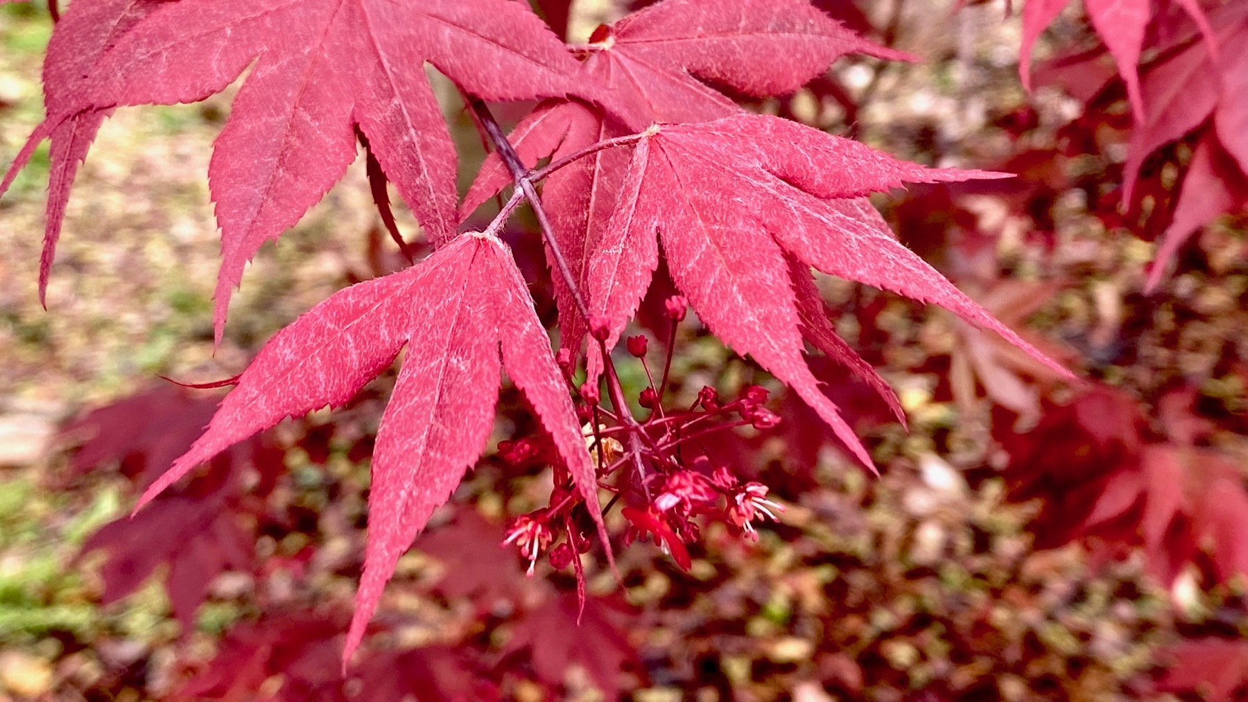 Acer palmatum young leaves