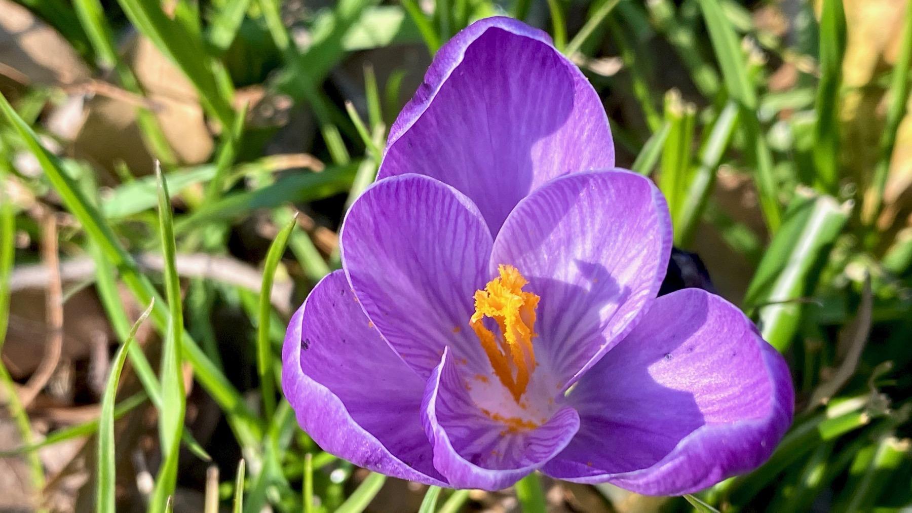 Crocus med purple