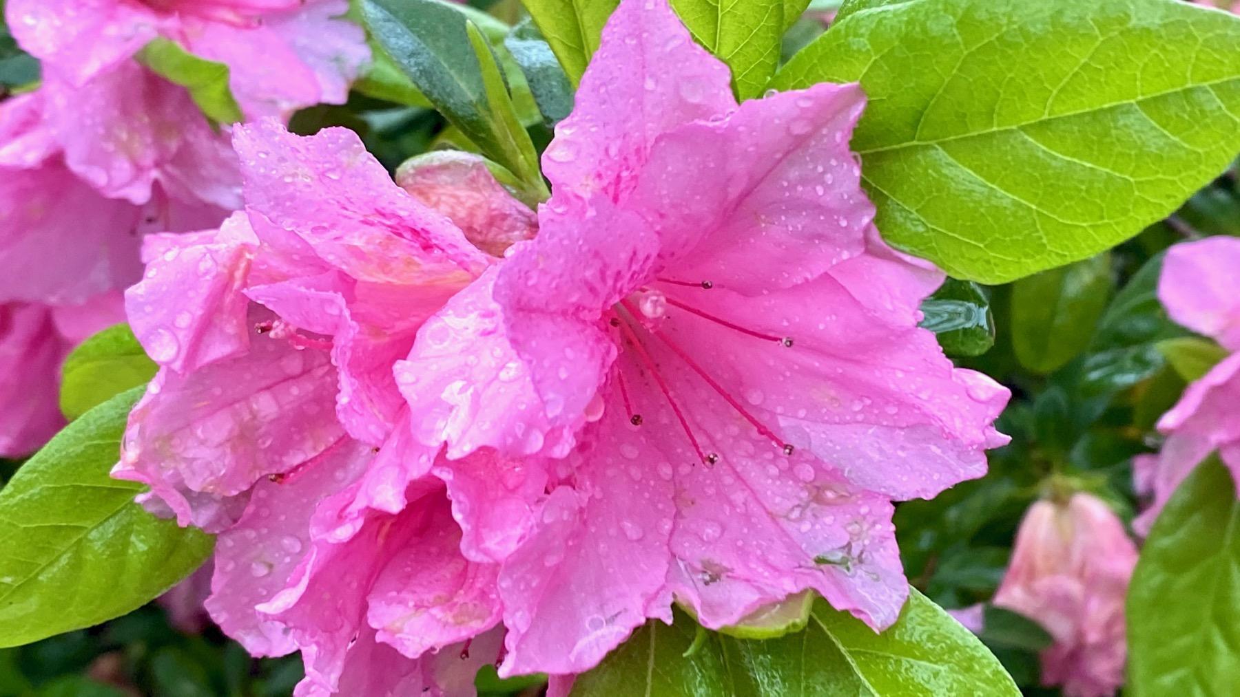 Hot pink azalea rain