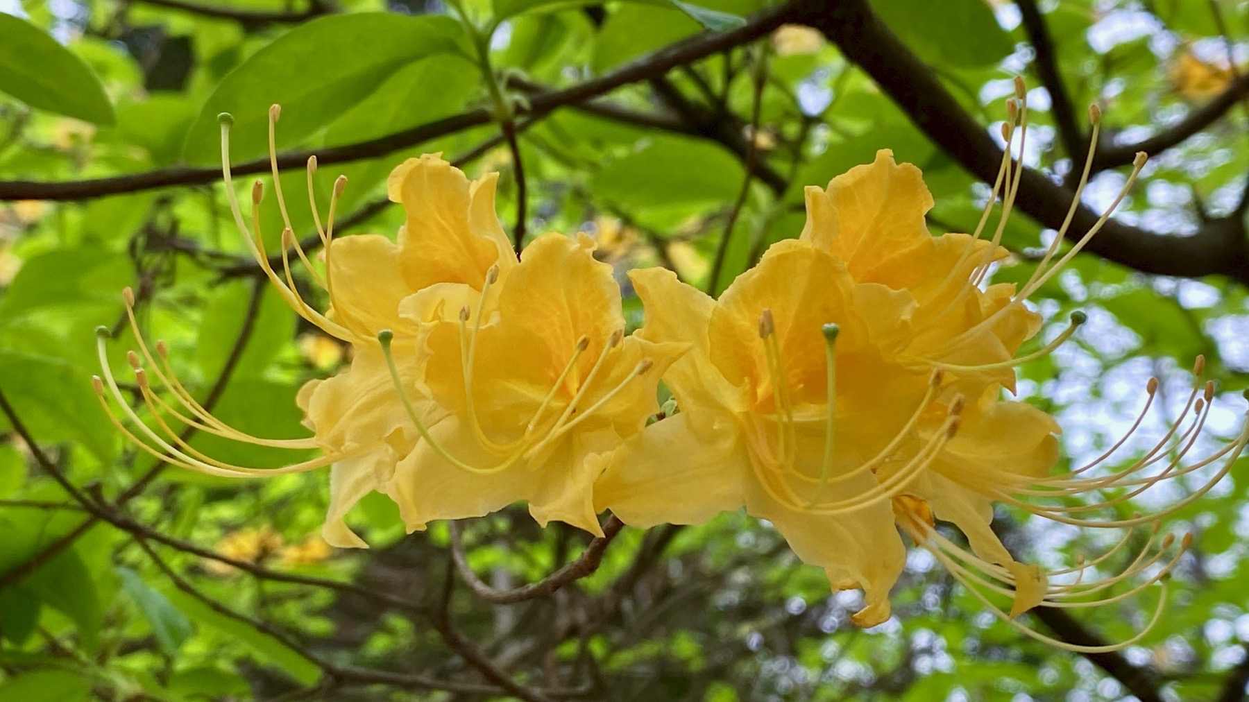 Leafing azalea
