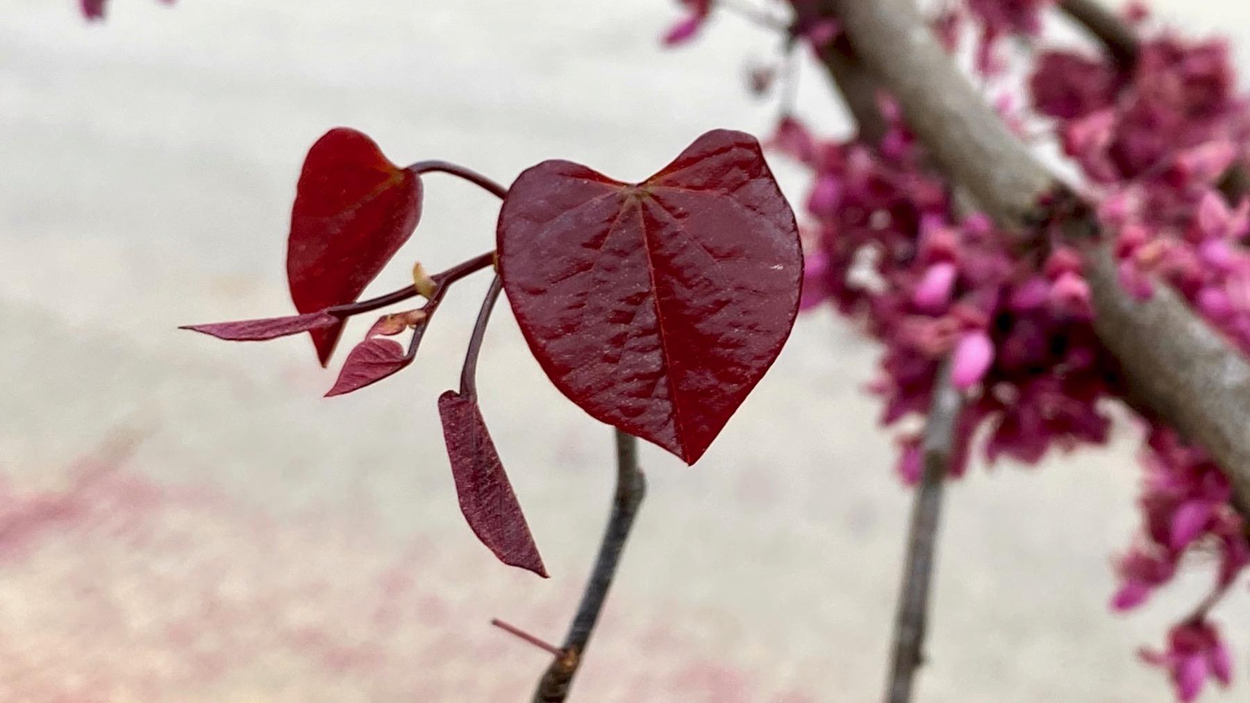 Leafing redbud