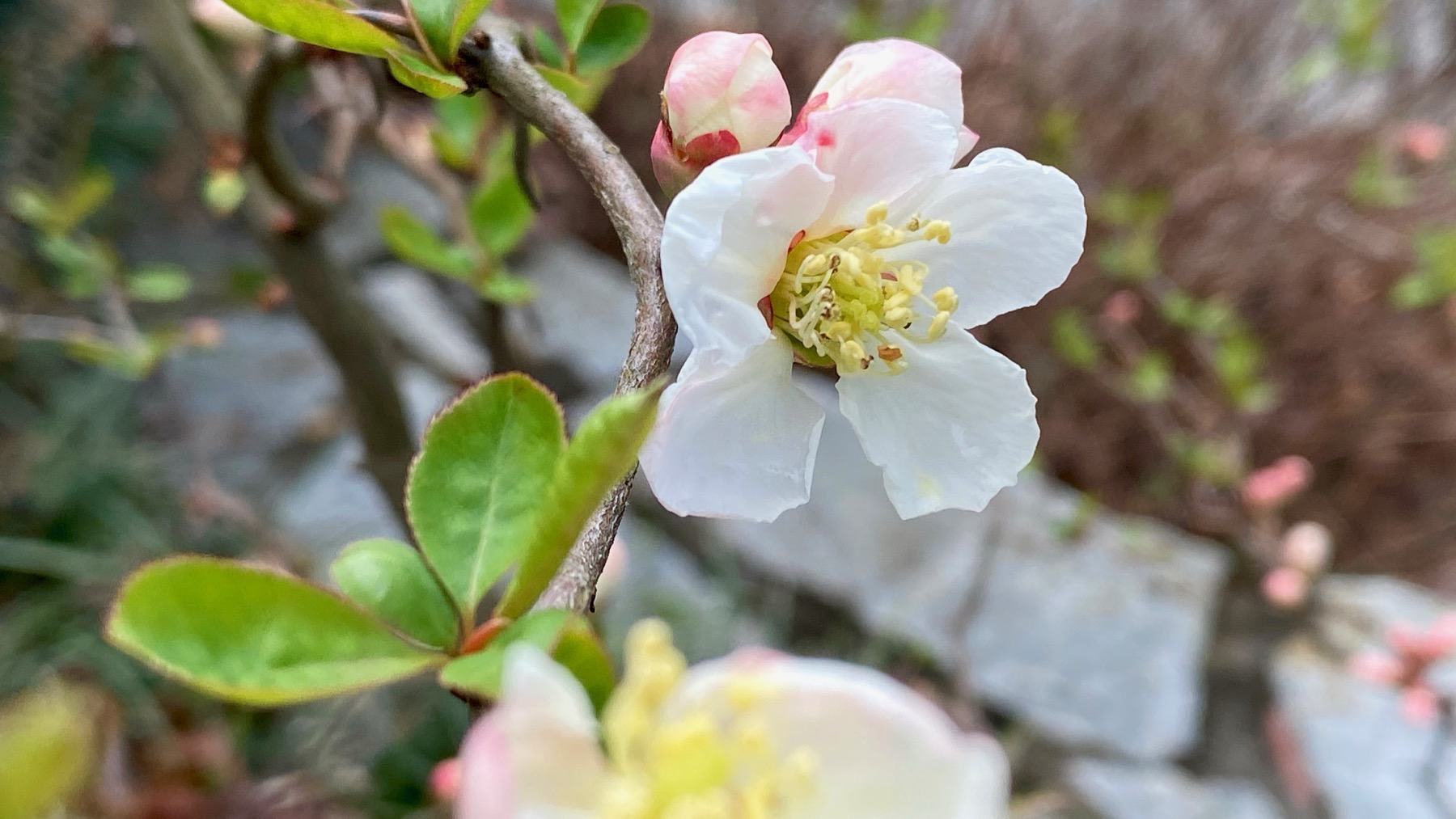 Our quince blooms again