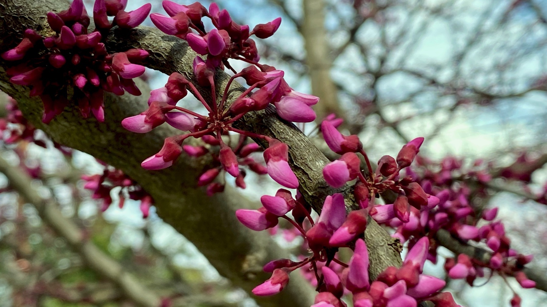 Redbuds coming