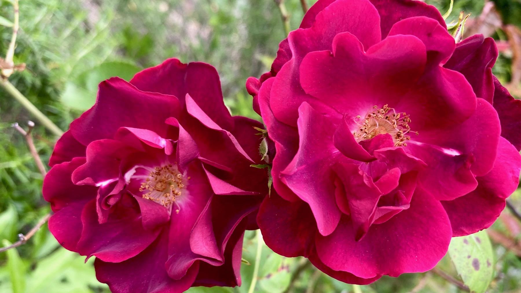 DK rose