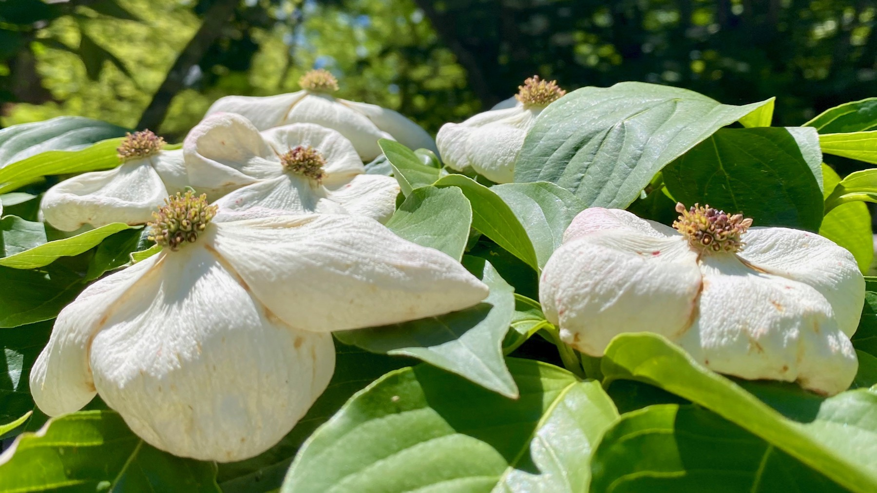 Dogwood blooms fading