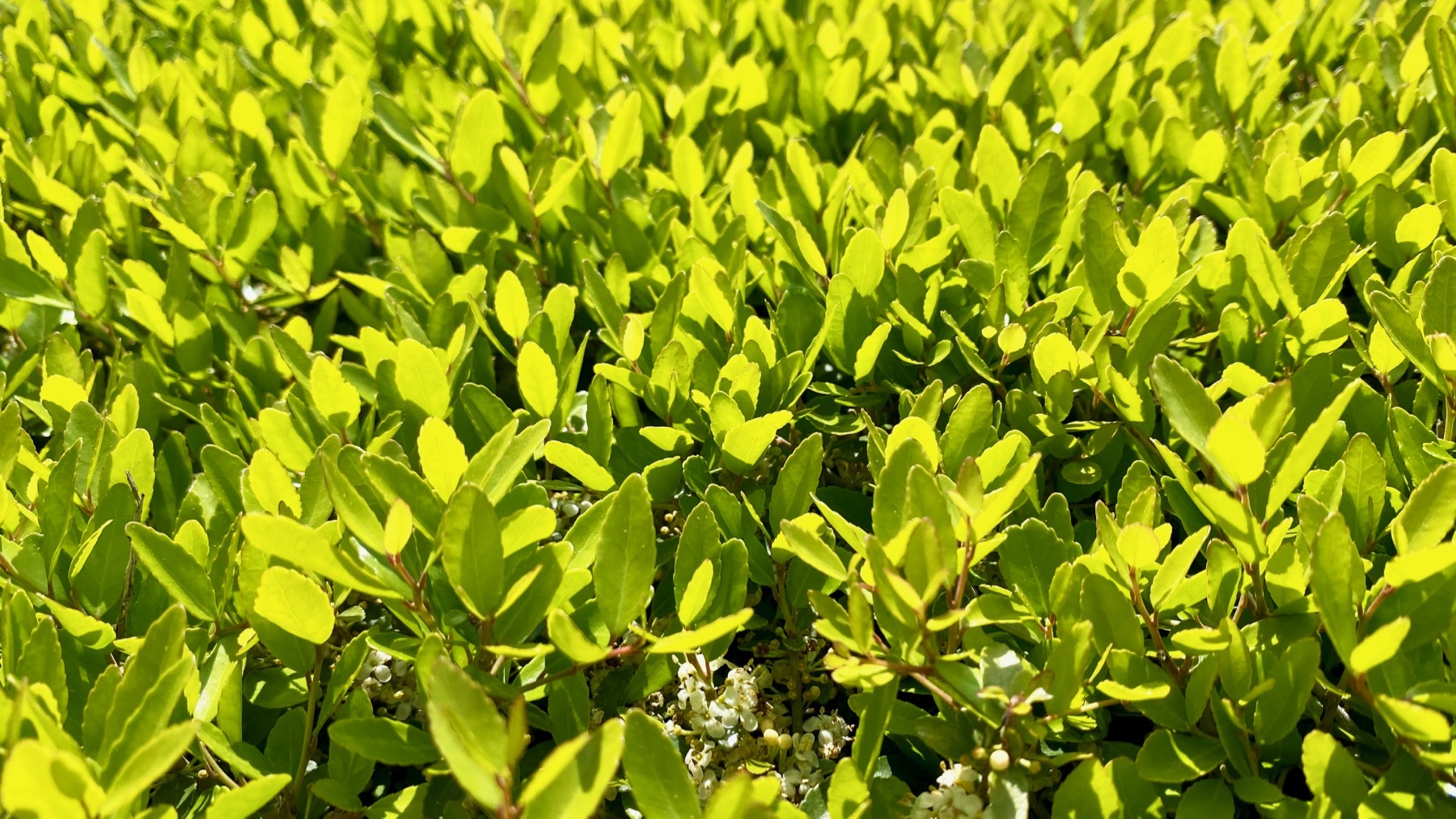 Hedge new leaves