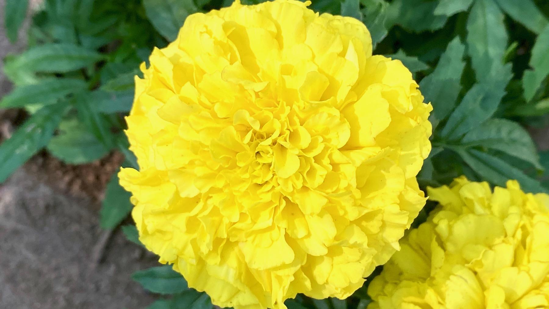 Marigold display