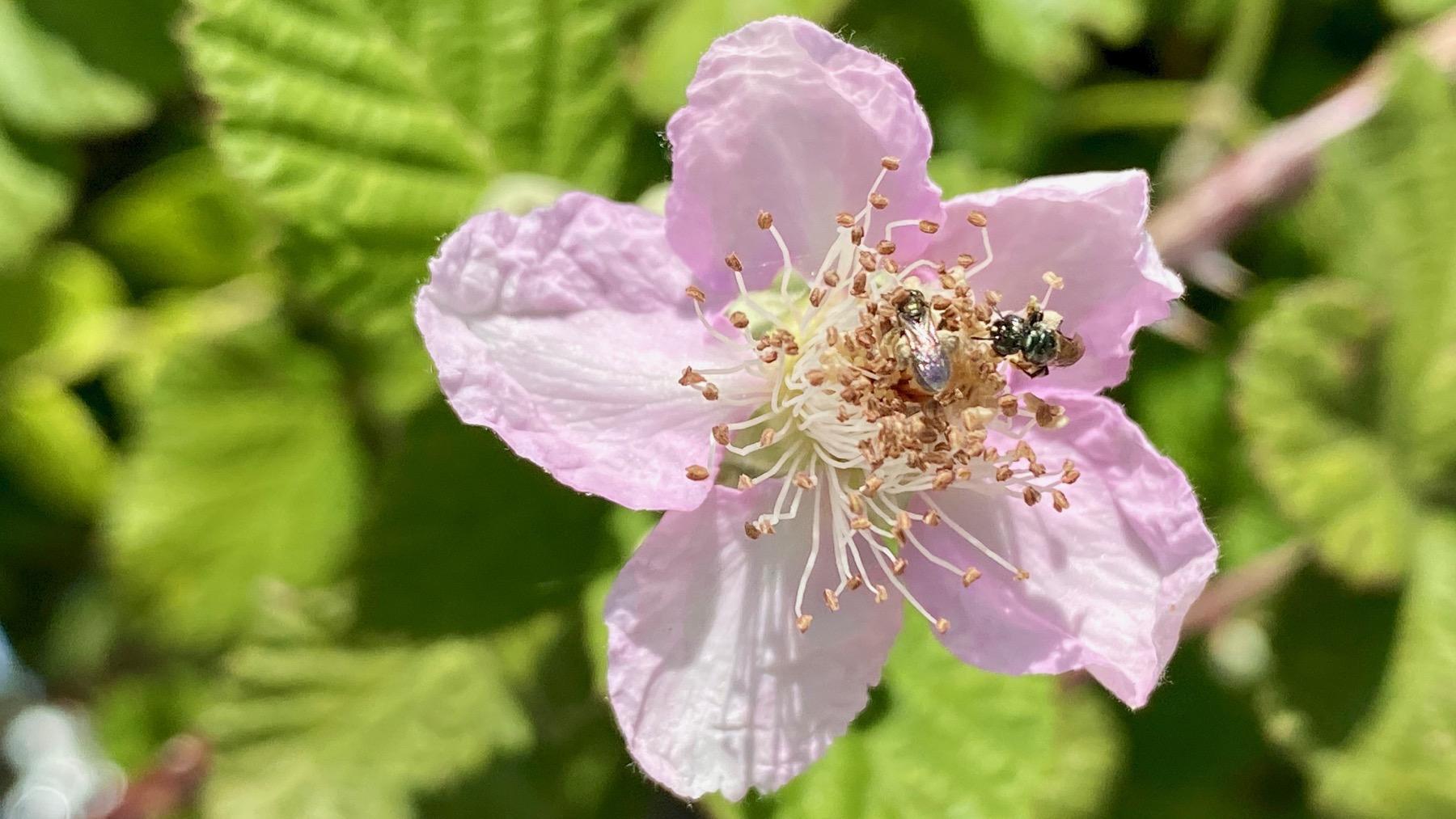 Berry blossom