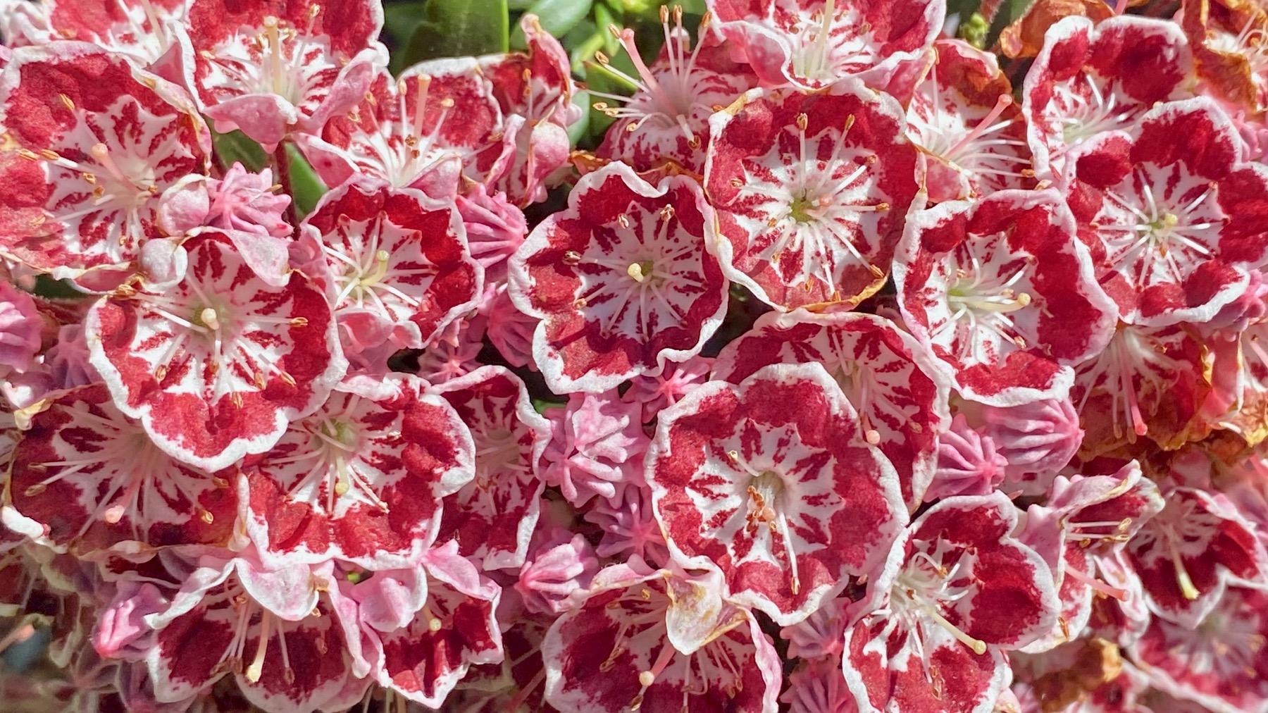 Red white fleurs