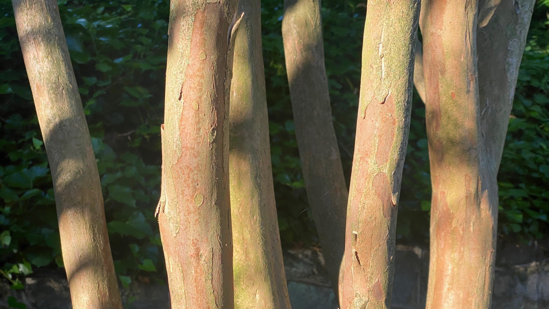 Crepe myrtle trunks