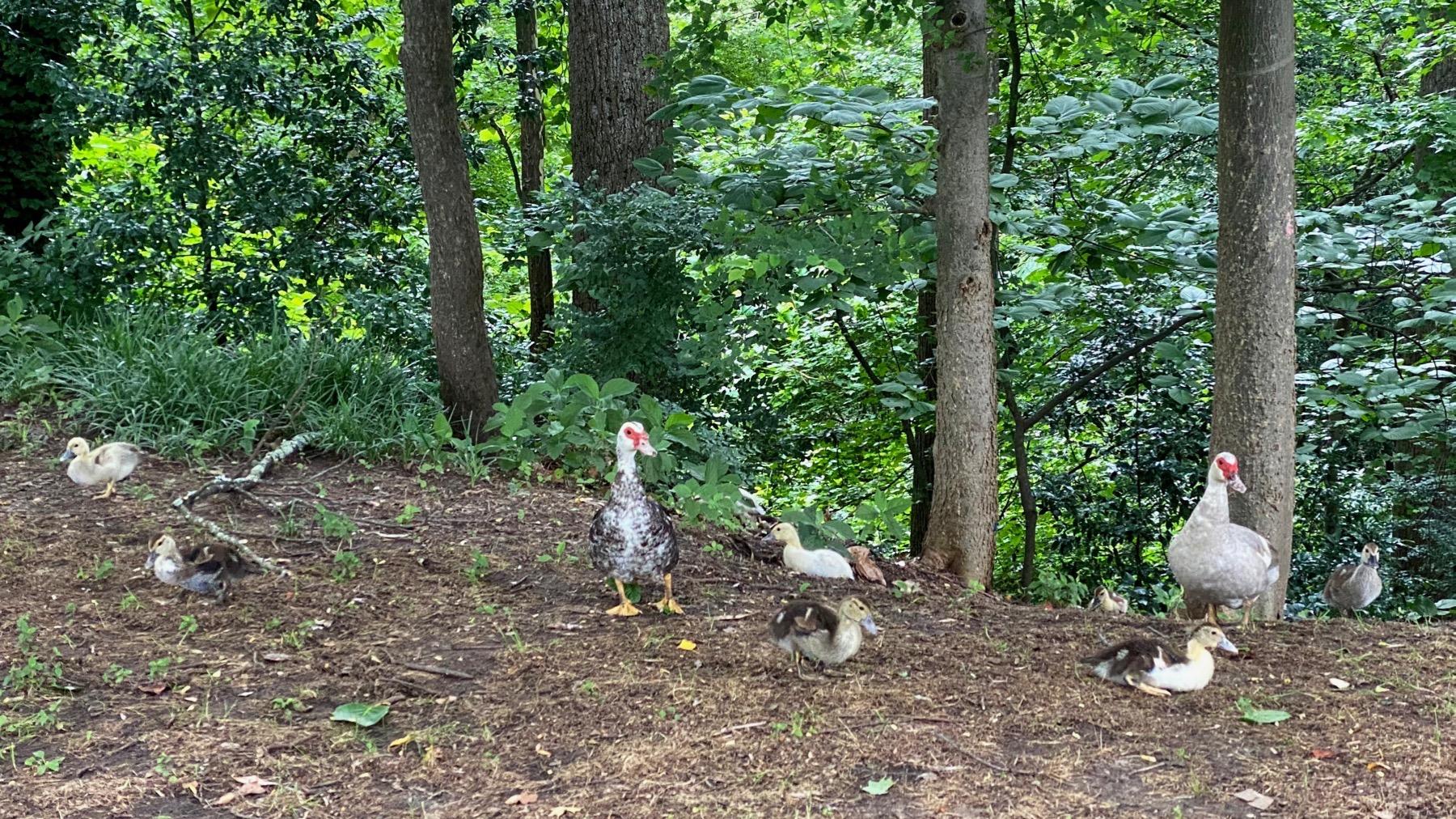 Duck distancing