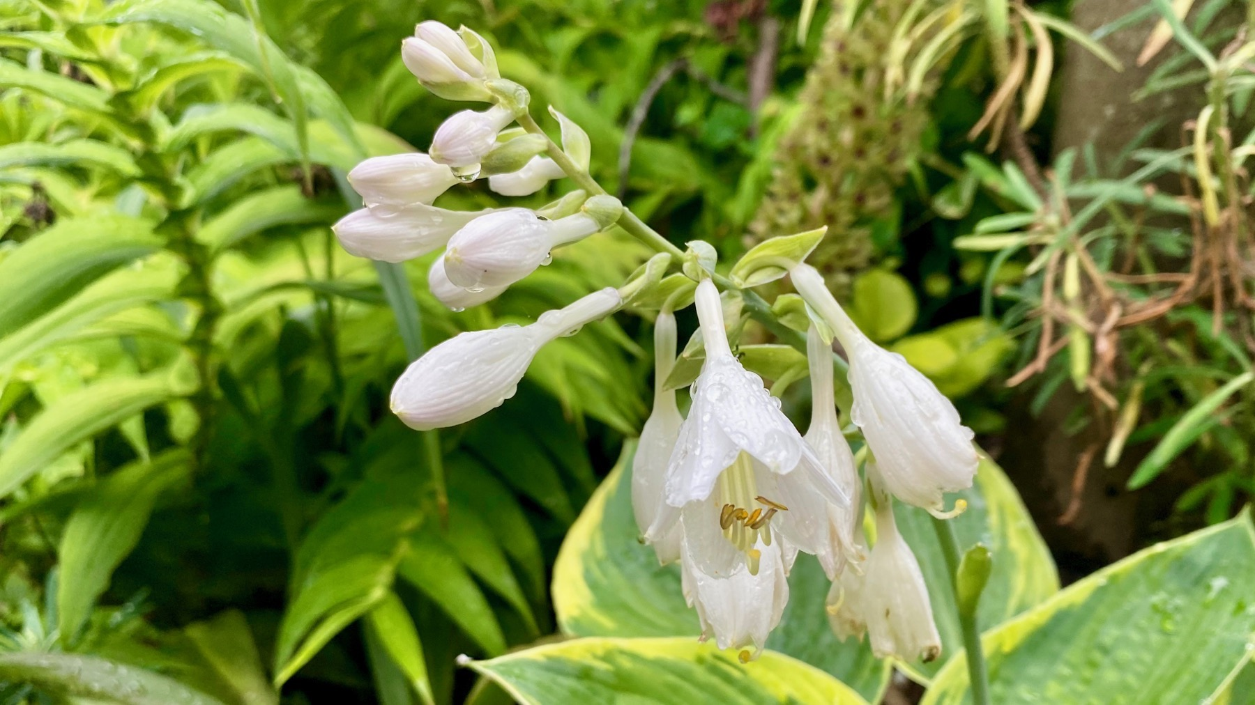 Hosta drippy