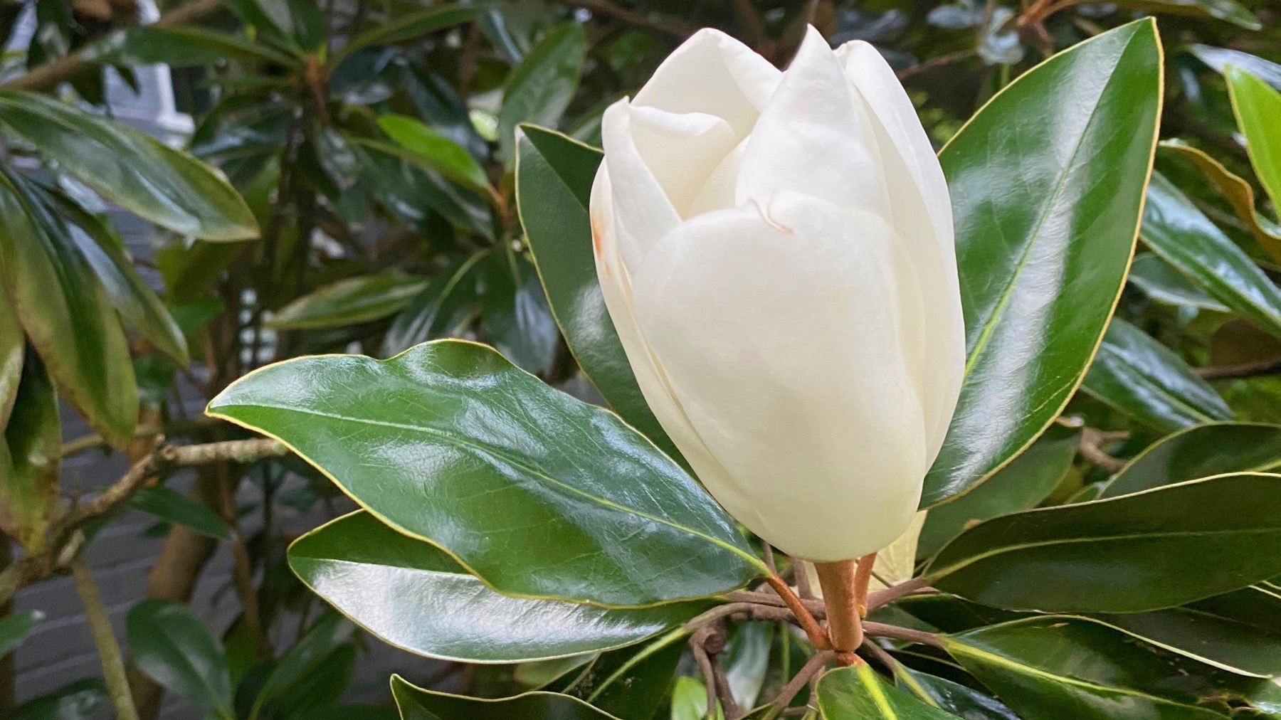 Magnolia half open