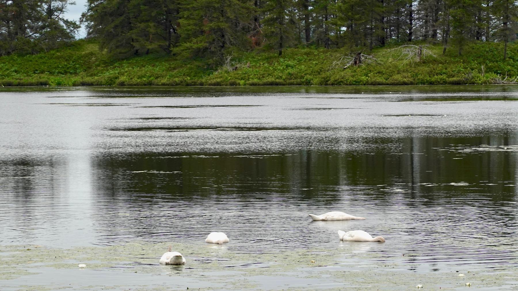 Four swan feeding