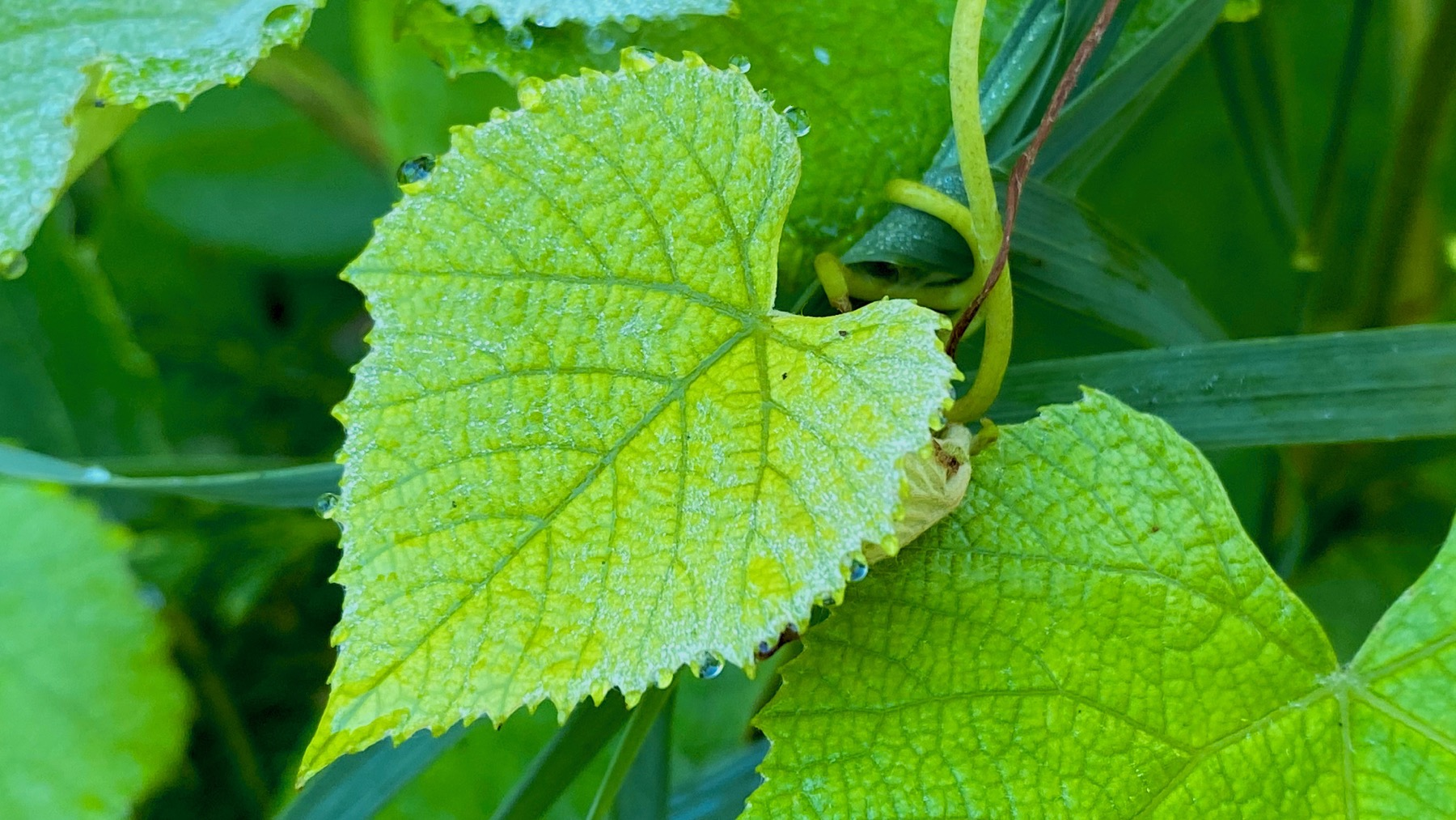 Grape leaf tendril