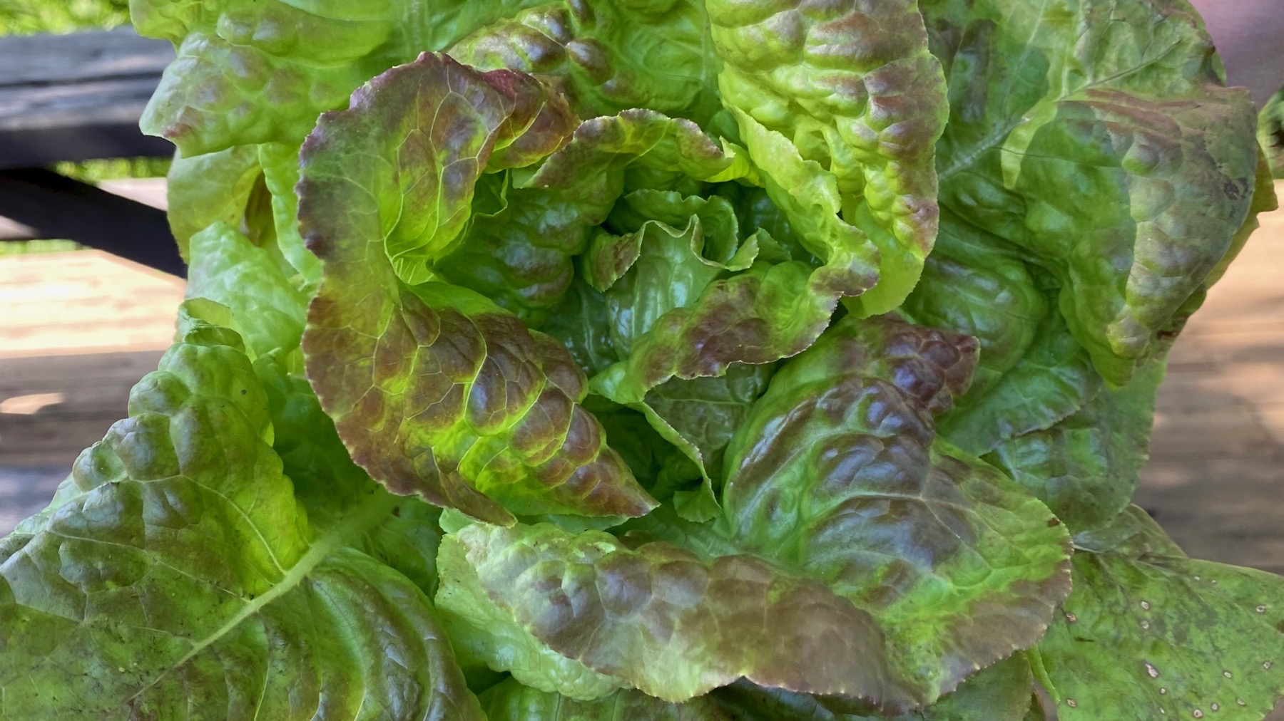 Neighbor lettuce