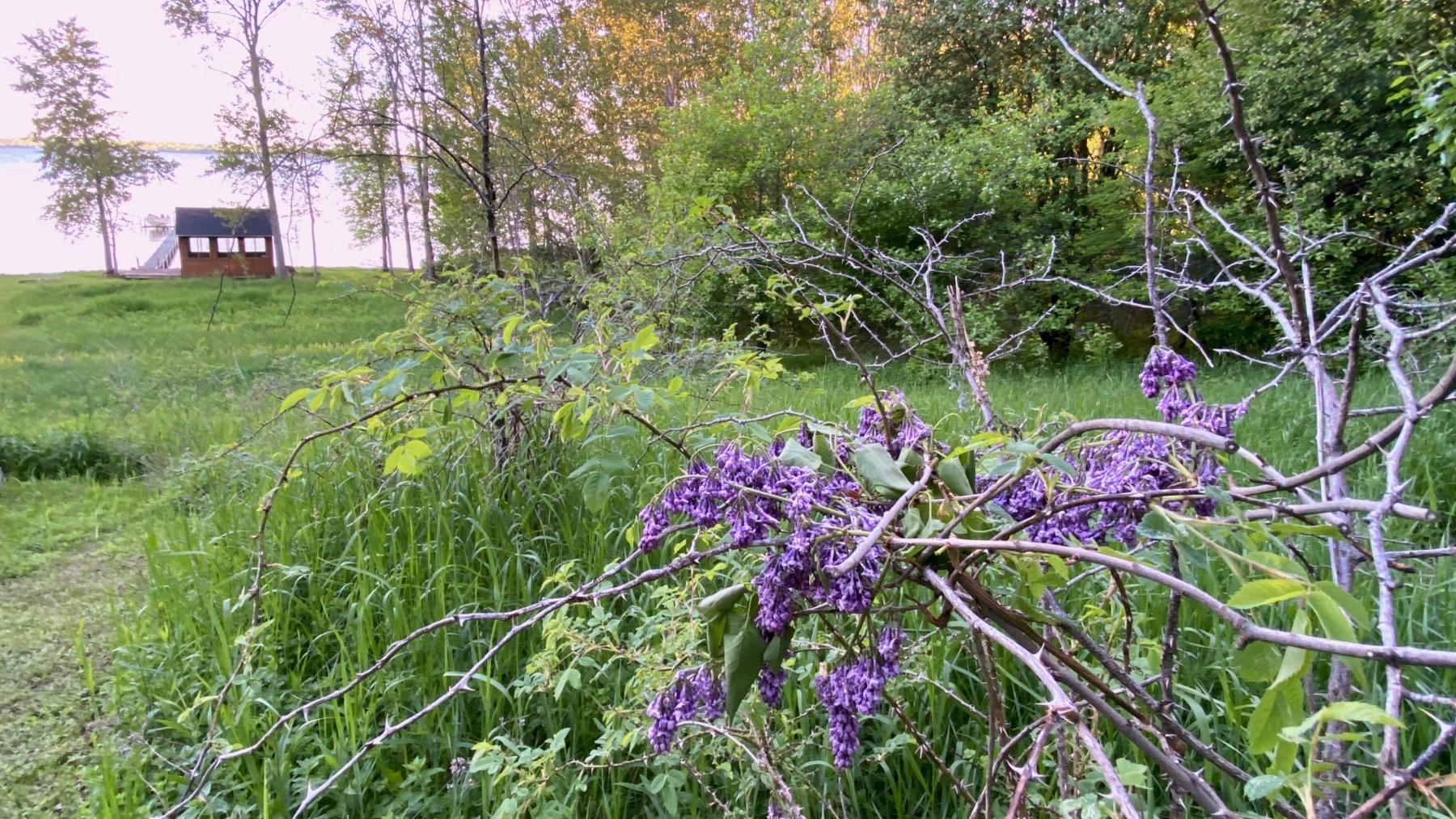 Not wisteria