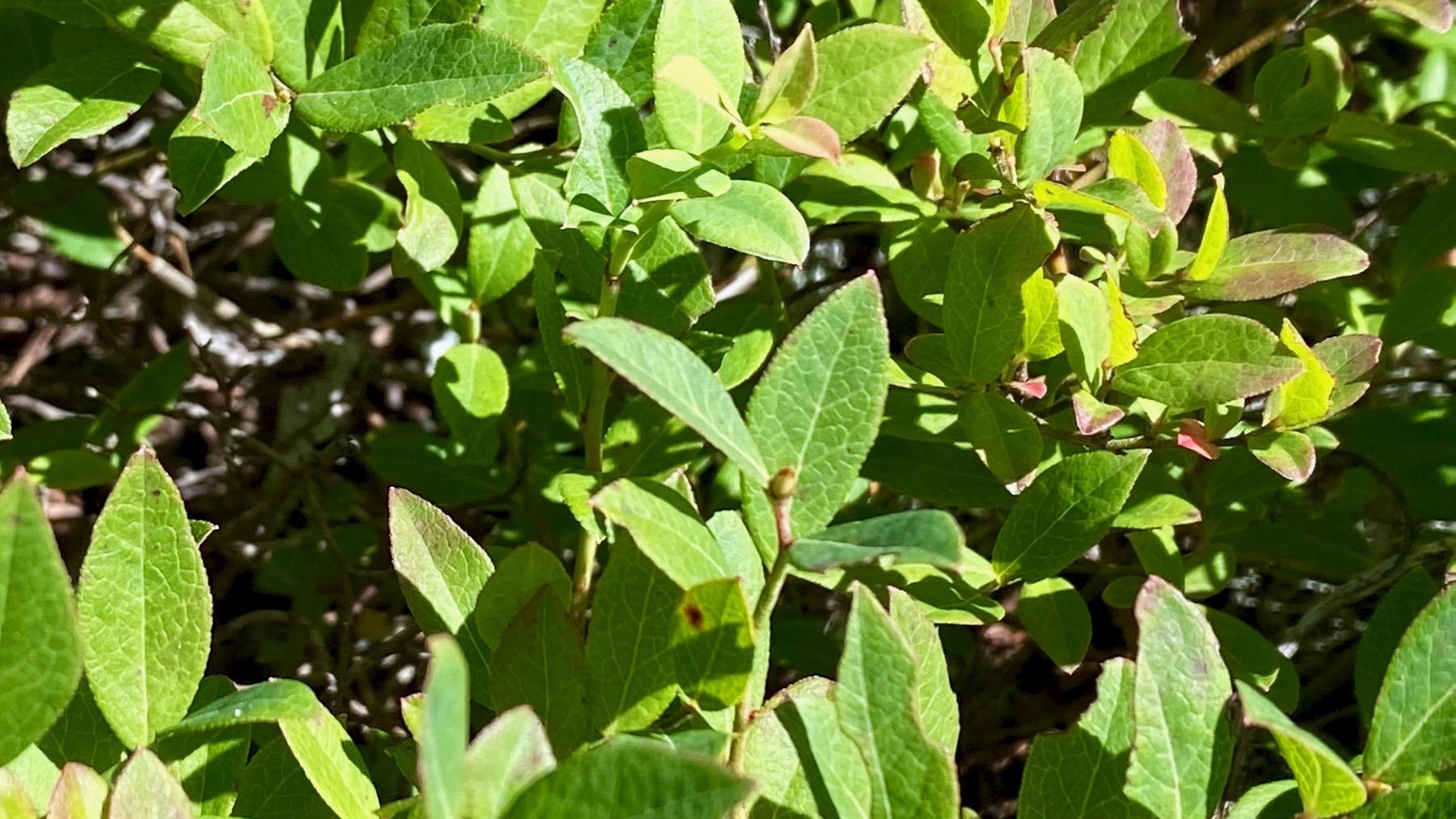 Blueberryplants