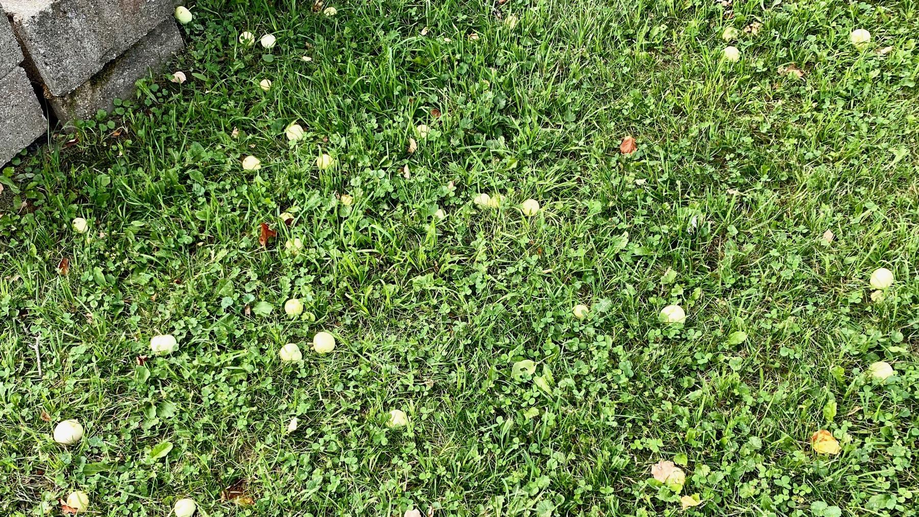 Down leaves apples