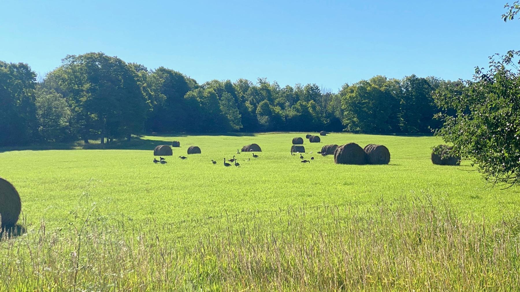 Geese hay