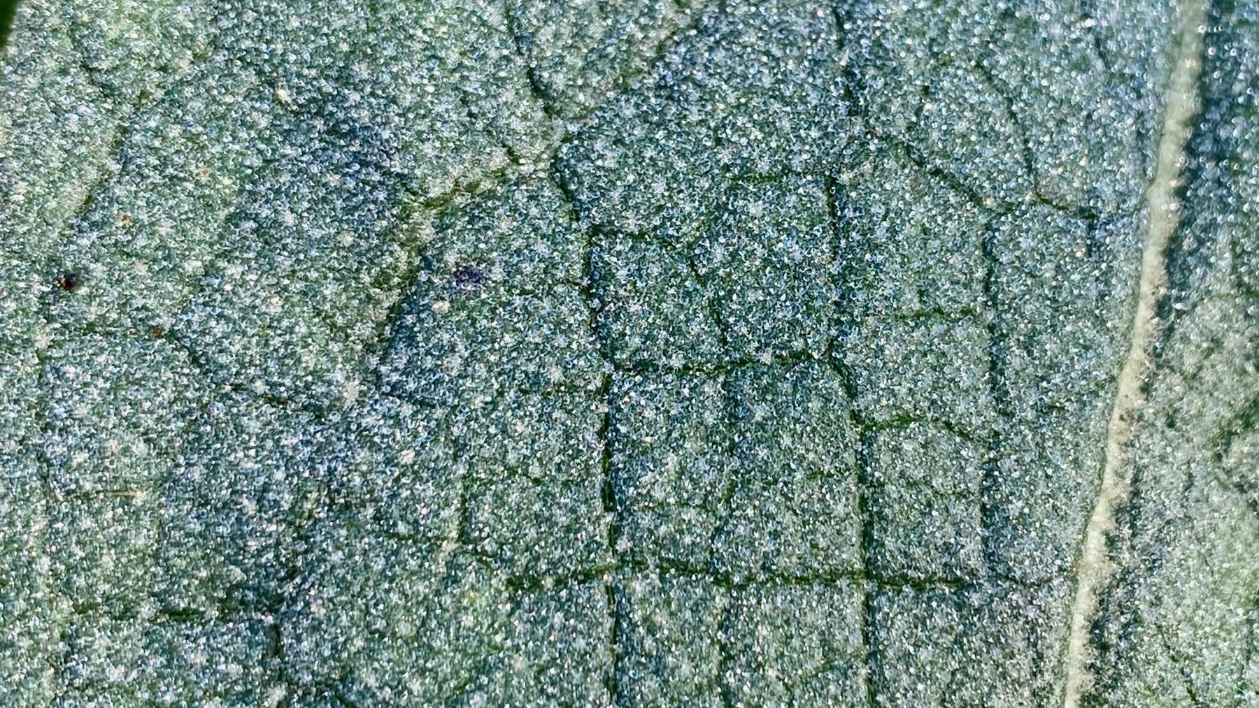 Mullein leaf CU