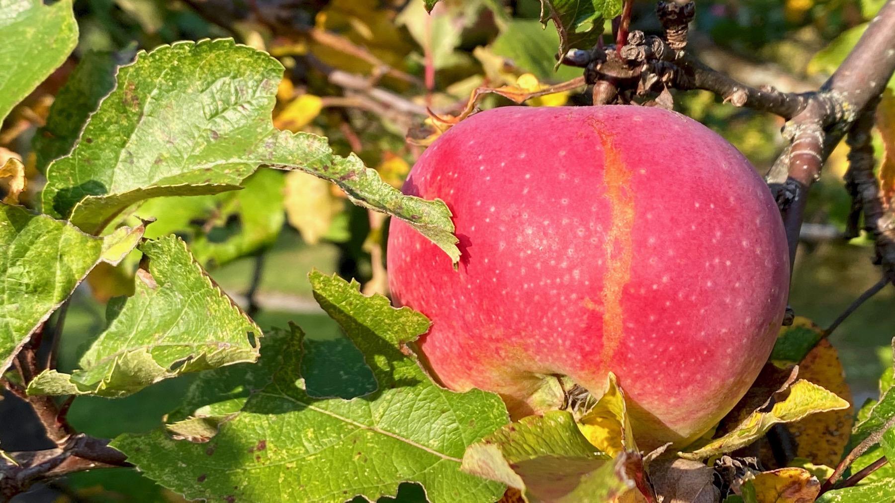 Siberia apple