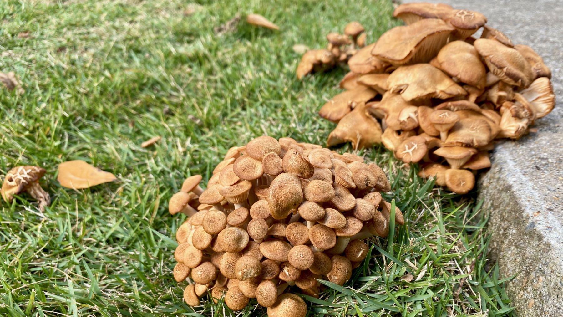 Fungal multi piles