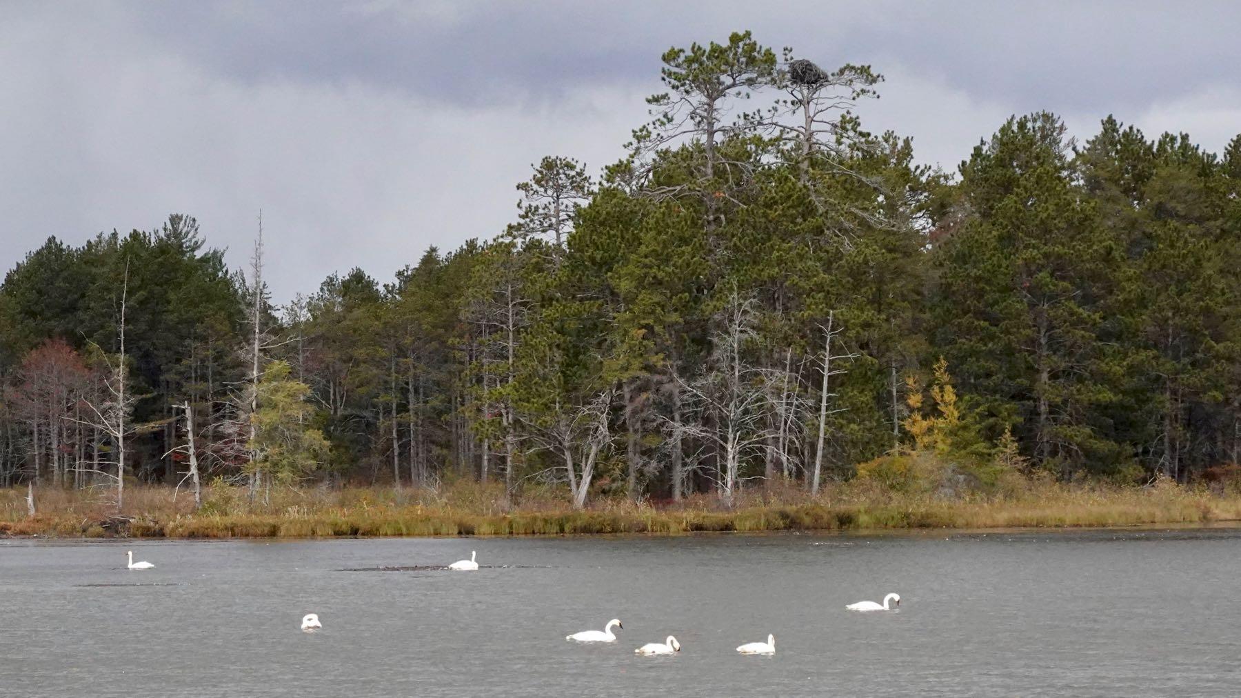 Refuge swans