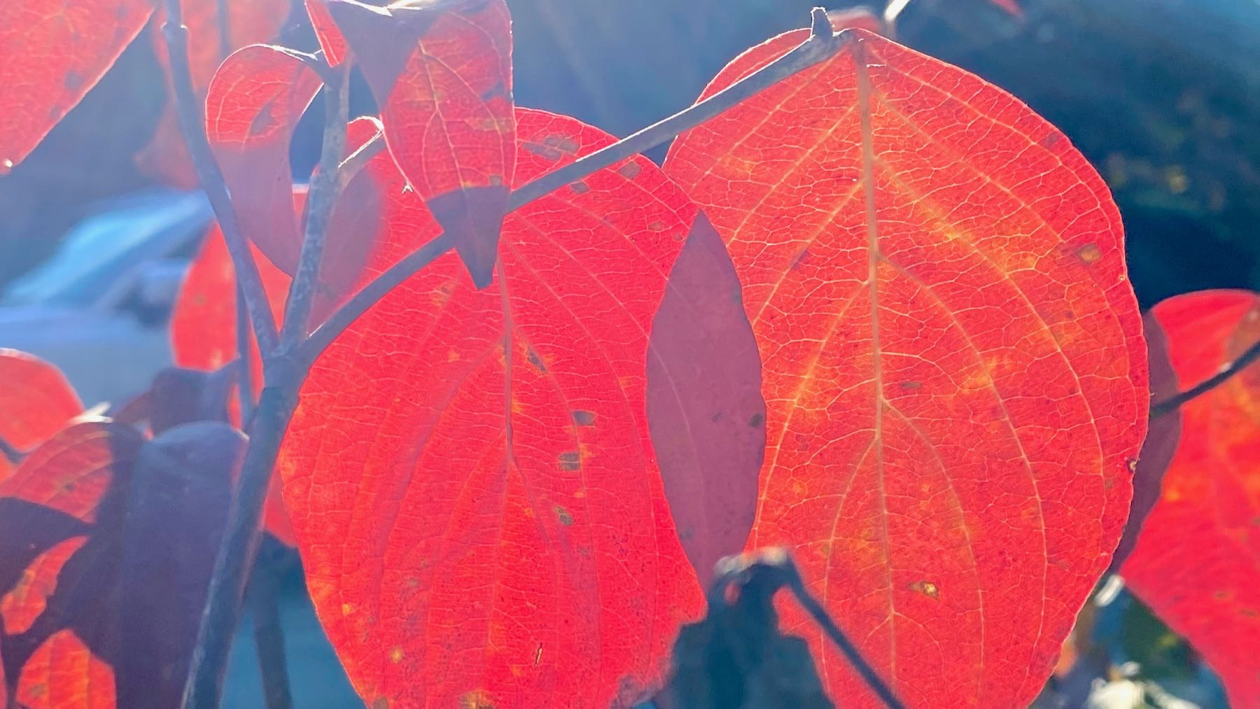 Backlit dogwood leaves