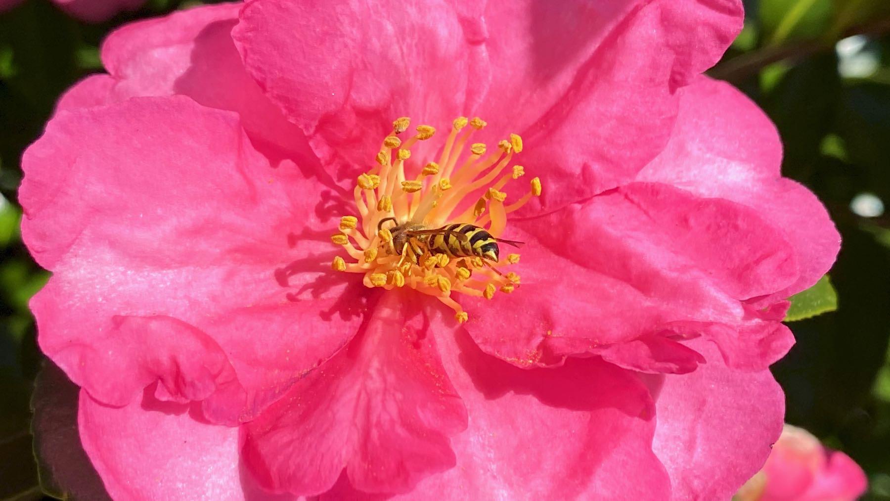 Camellia bee