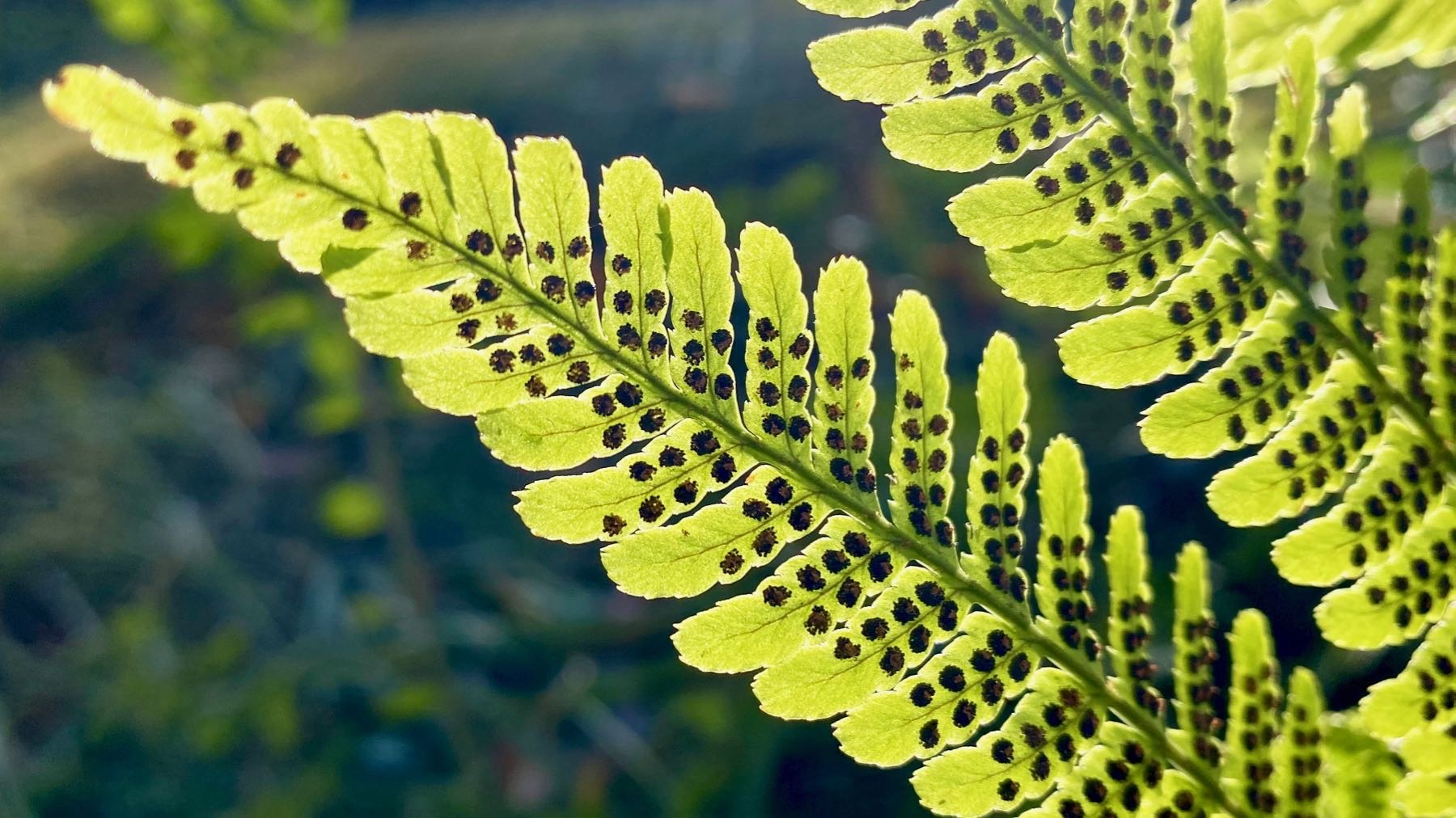 Fern backlit